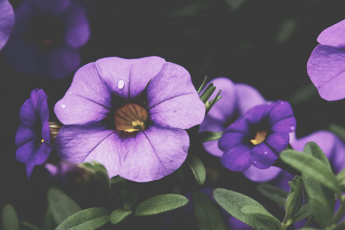 Flower Purple Vine #10116