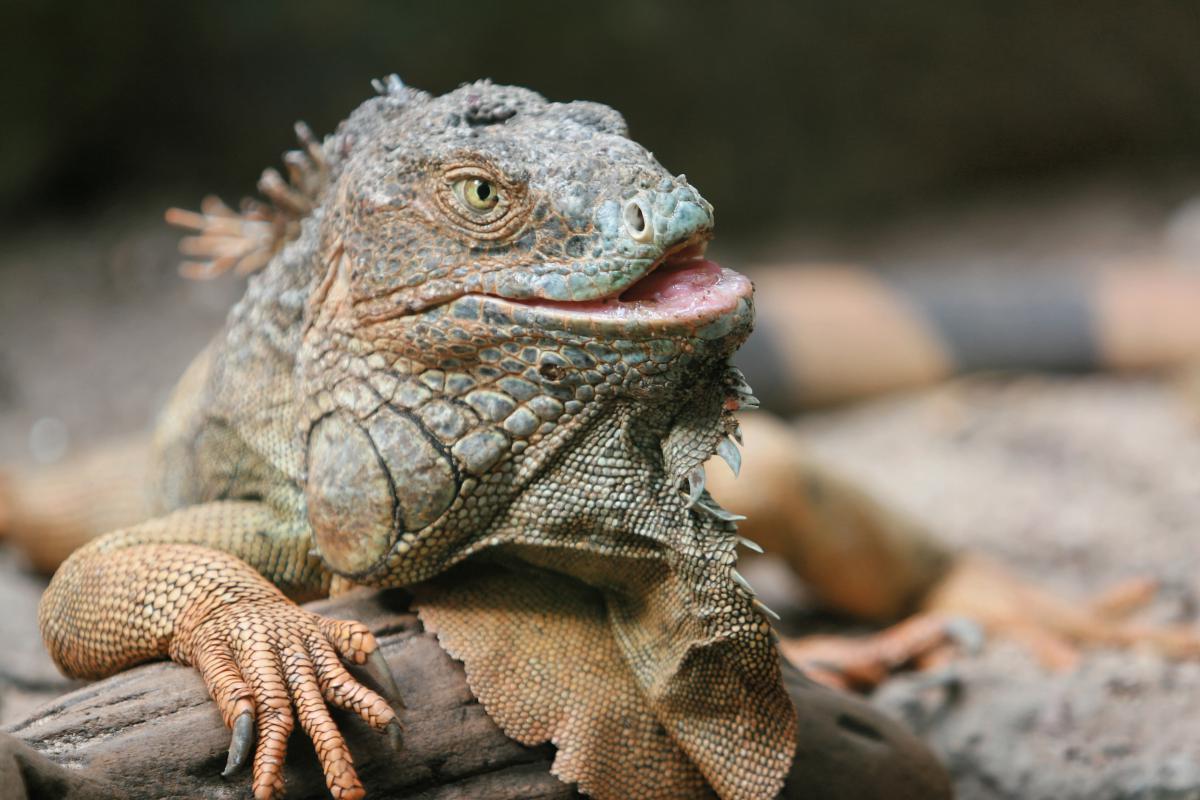 Lizard Common iguana Iguanid #10128