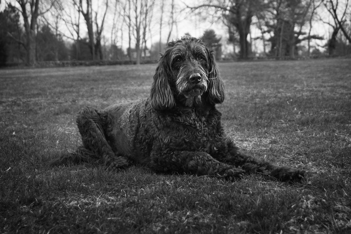 Giant schnauzer Hunting dog Dog #101301