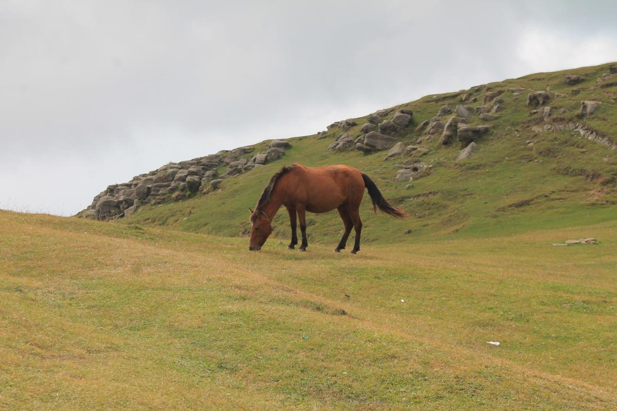 Hierba de pasto de caballos #102434