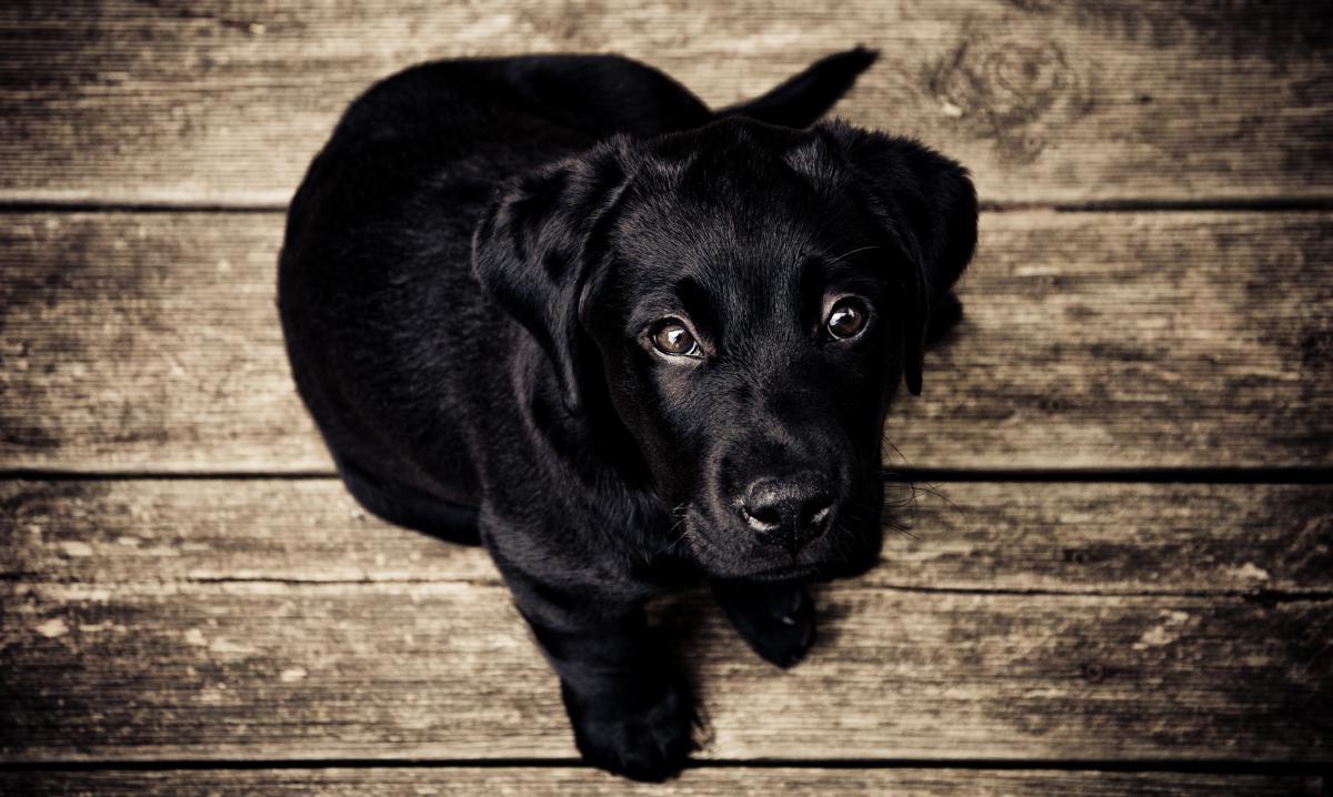 Retriever Dog Sporting dog #10310