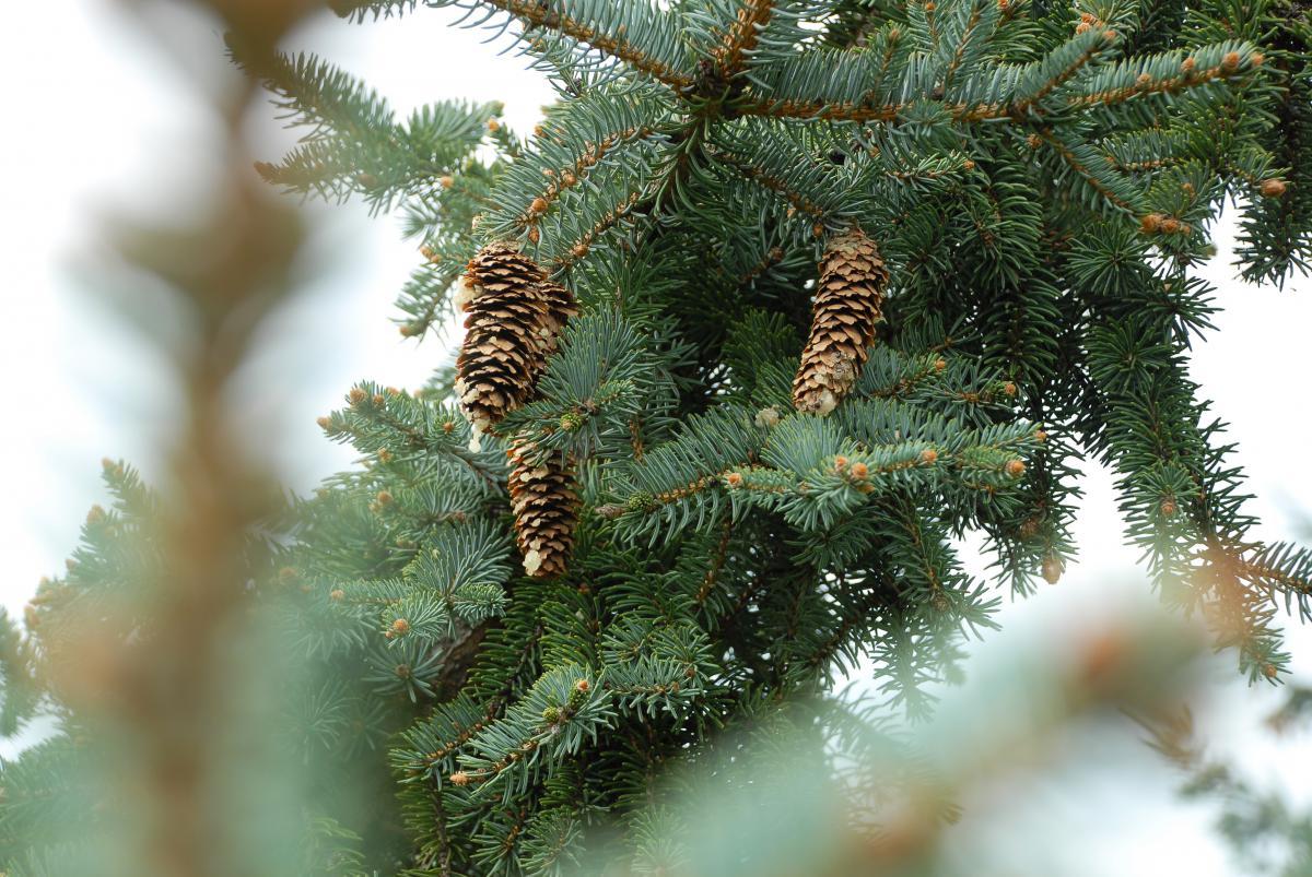 Fir Tree Pine #10316