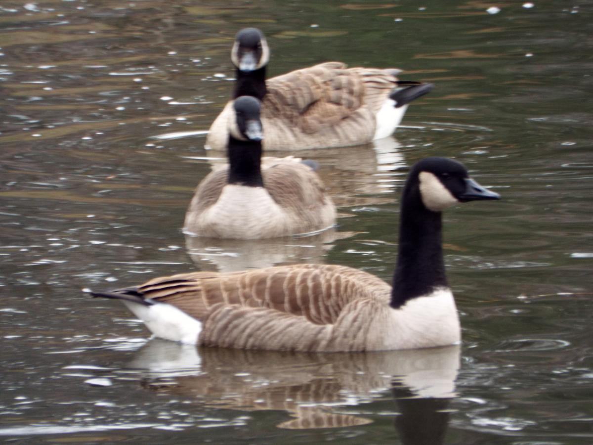 Goose Waterfowl Aquatic bird #104028