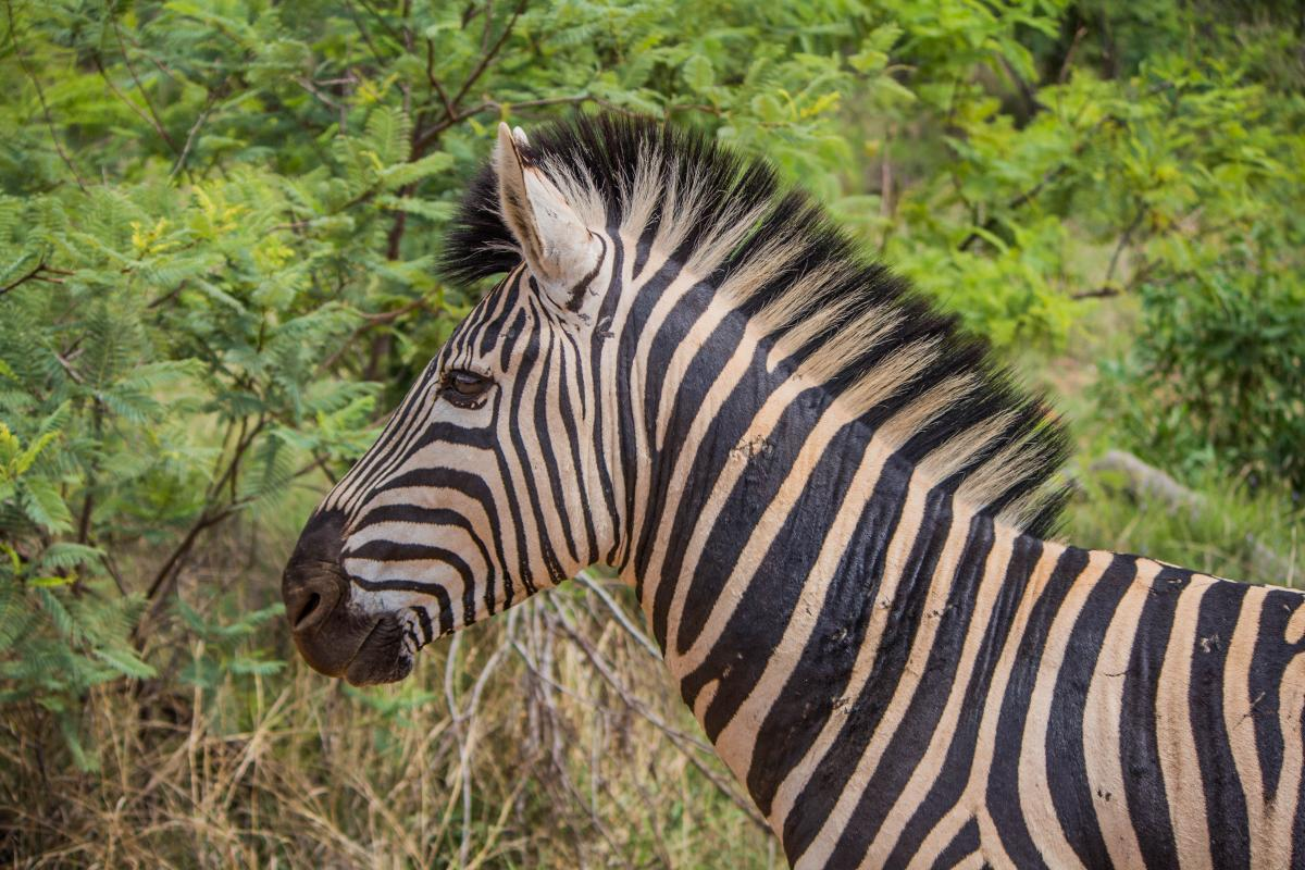 Equine Zebra Ungulate #105362