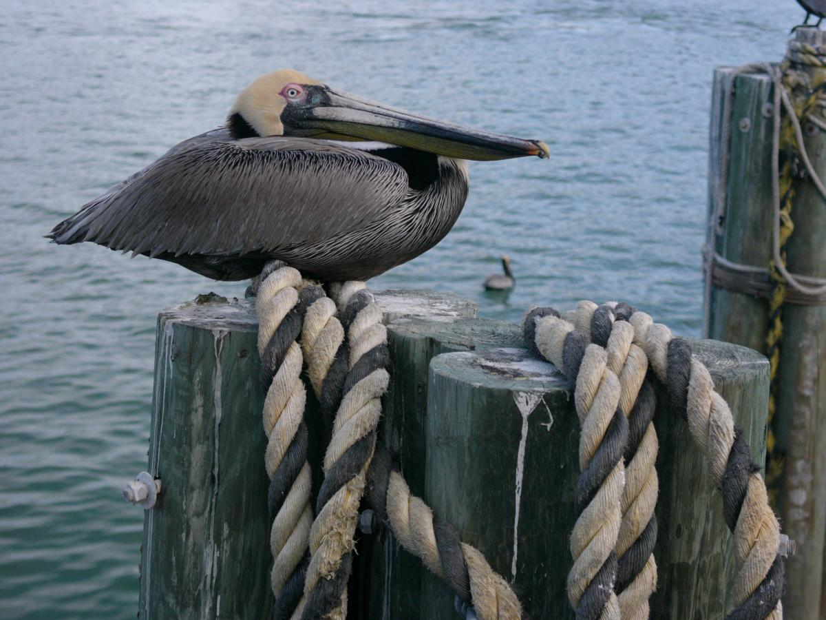 Pelican Pelecaniform seabird Seabird
