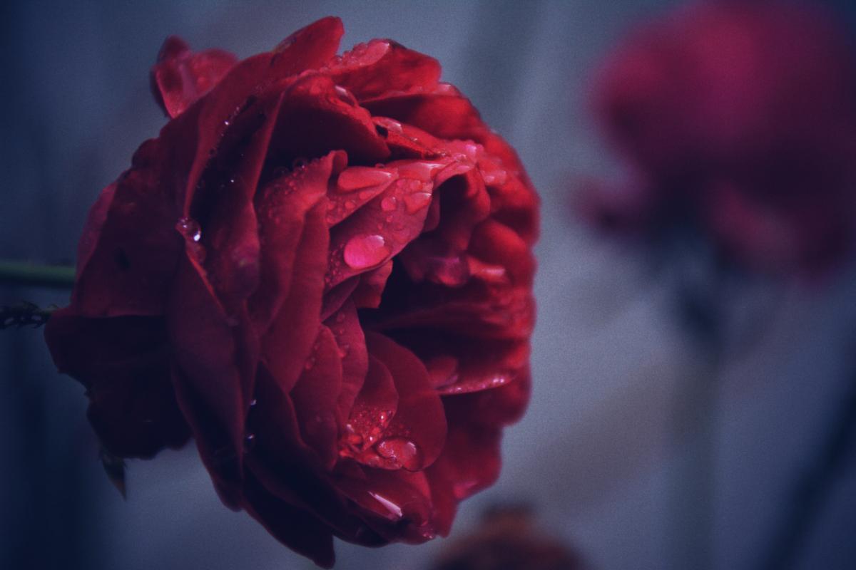 Red Petal Rose