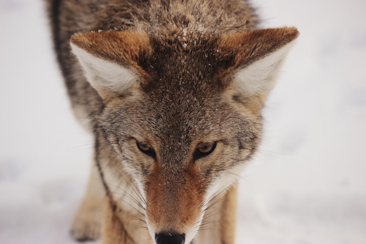Canine Fox Wolf #10713
