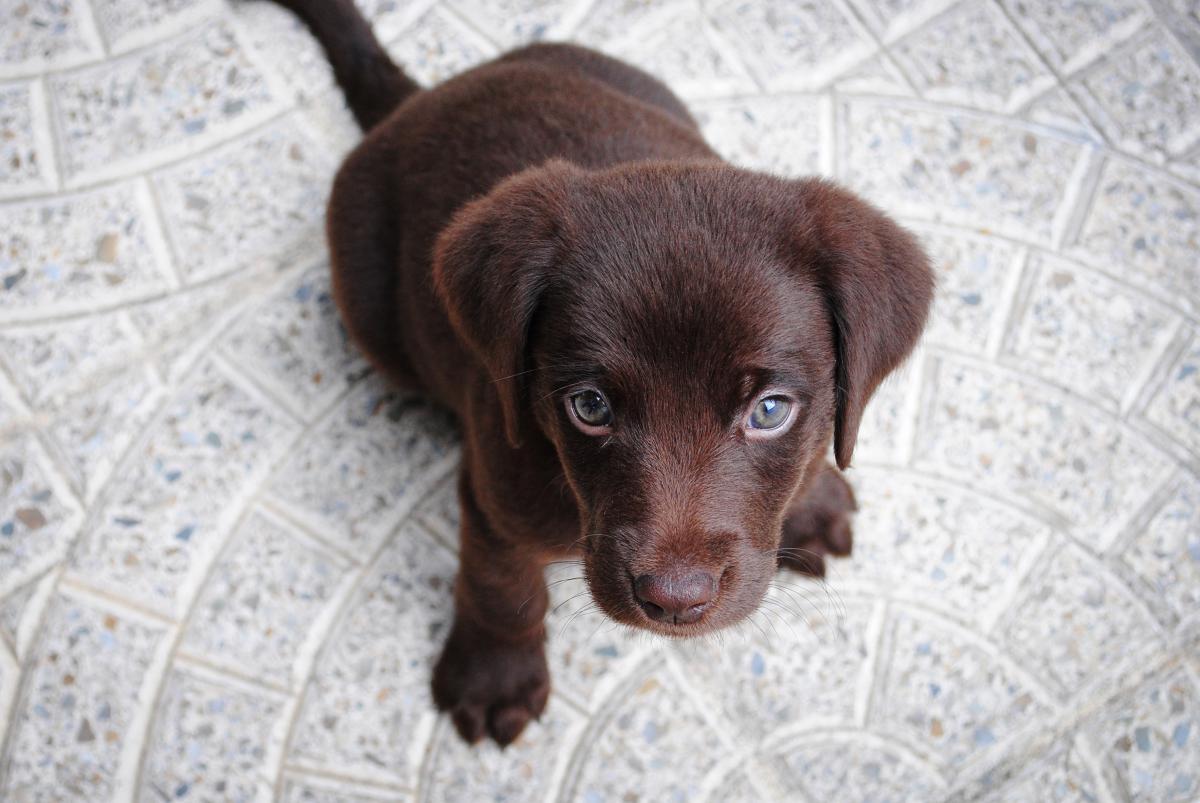 Retriever Sporting dog Dog #10750