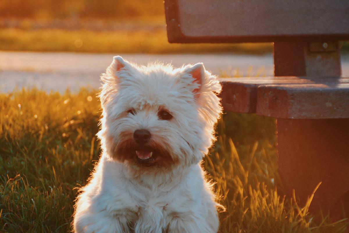 Terrier Hunting dog Dog #10812