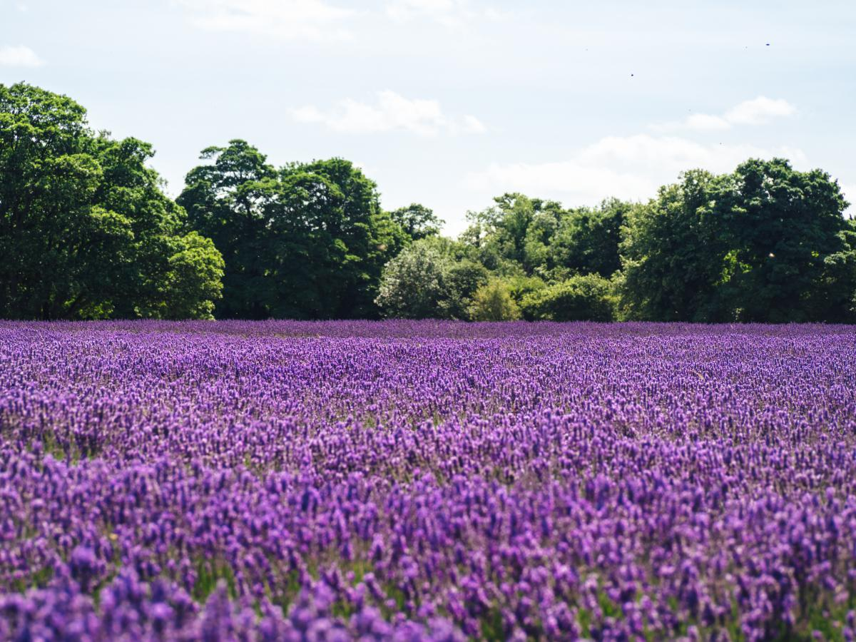 Free Purple Flower Flowers 10959 Stock Photo Avopix