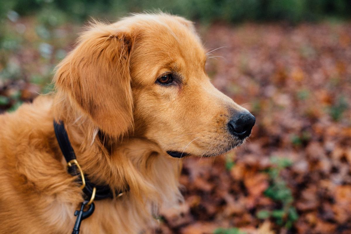 Retriever Golden retriever Dog #10967
