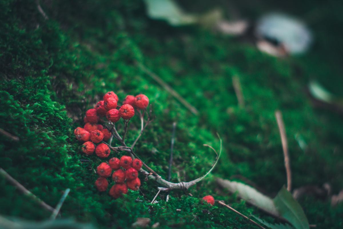 Berry Shrub Fruit #10974