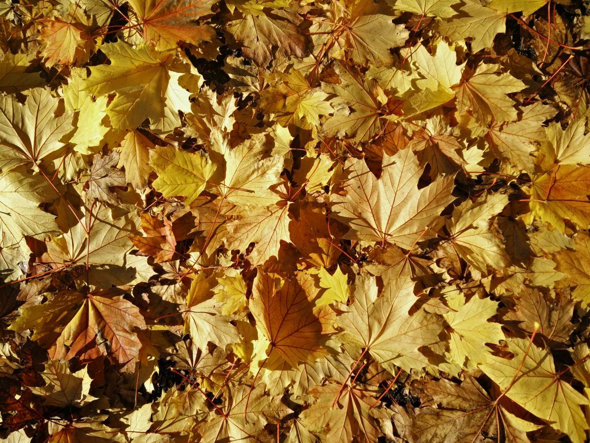 Maple Autumn Leaves #11030