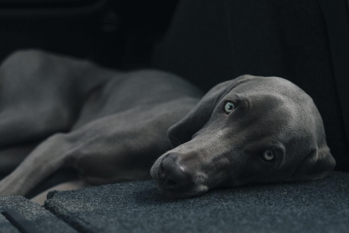 Weimaraner Hound Hunting dog #11121