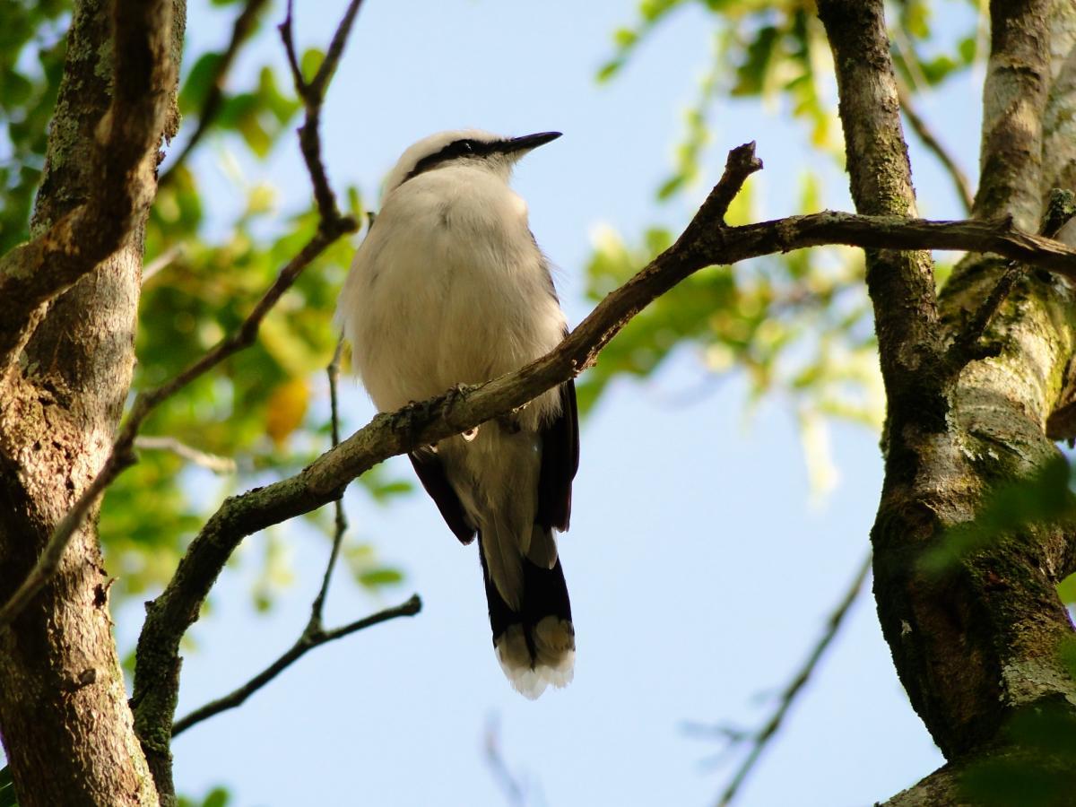 Bulbul Nightingale Thrush