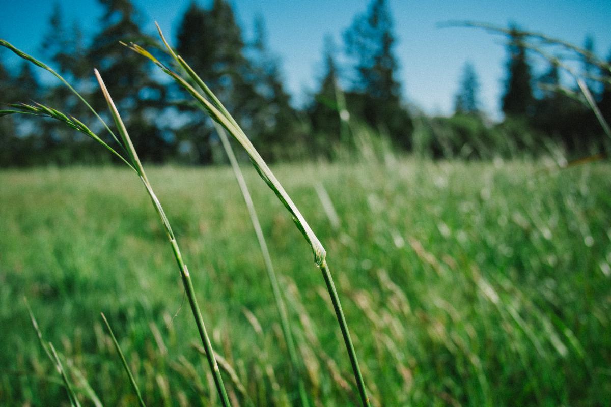 Grass Field Plant #11261