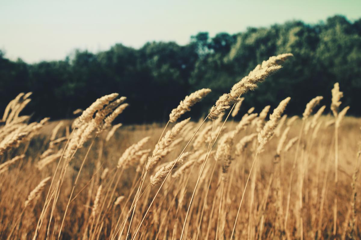 Wheat Field Grain #11271
