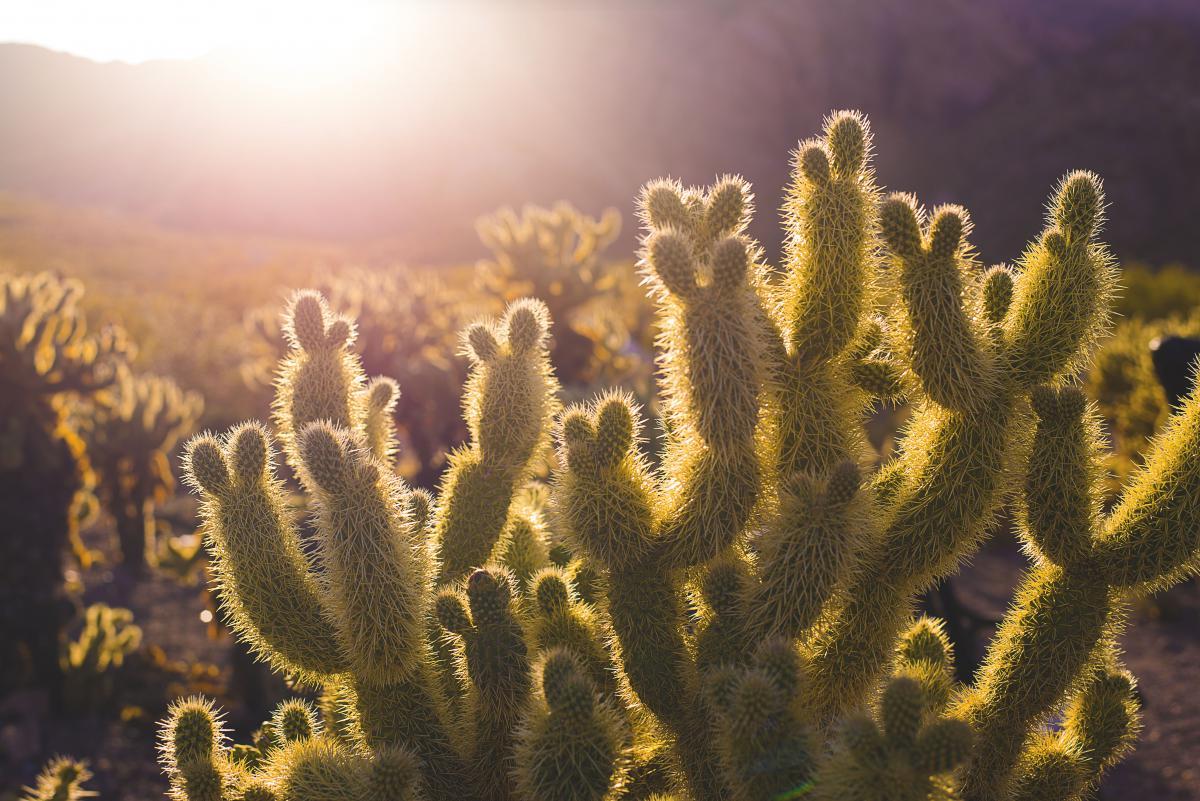 Coral Cactus Plant #11585