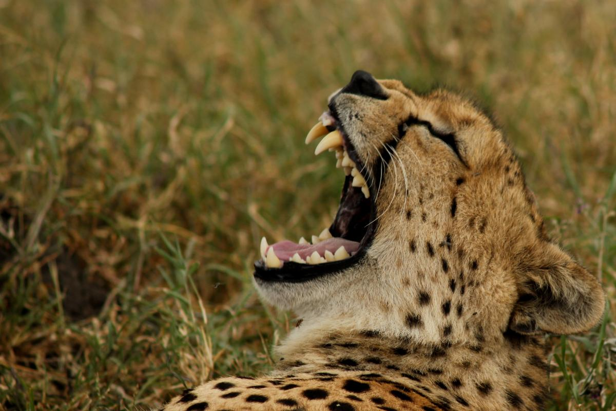 Cheetah Feline Big cat