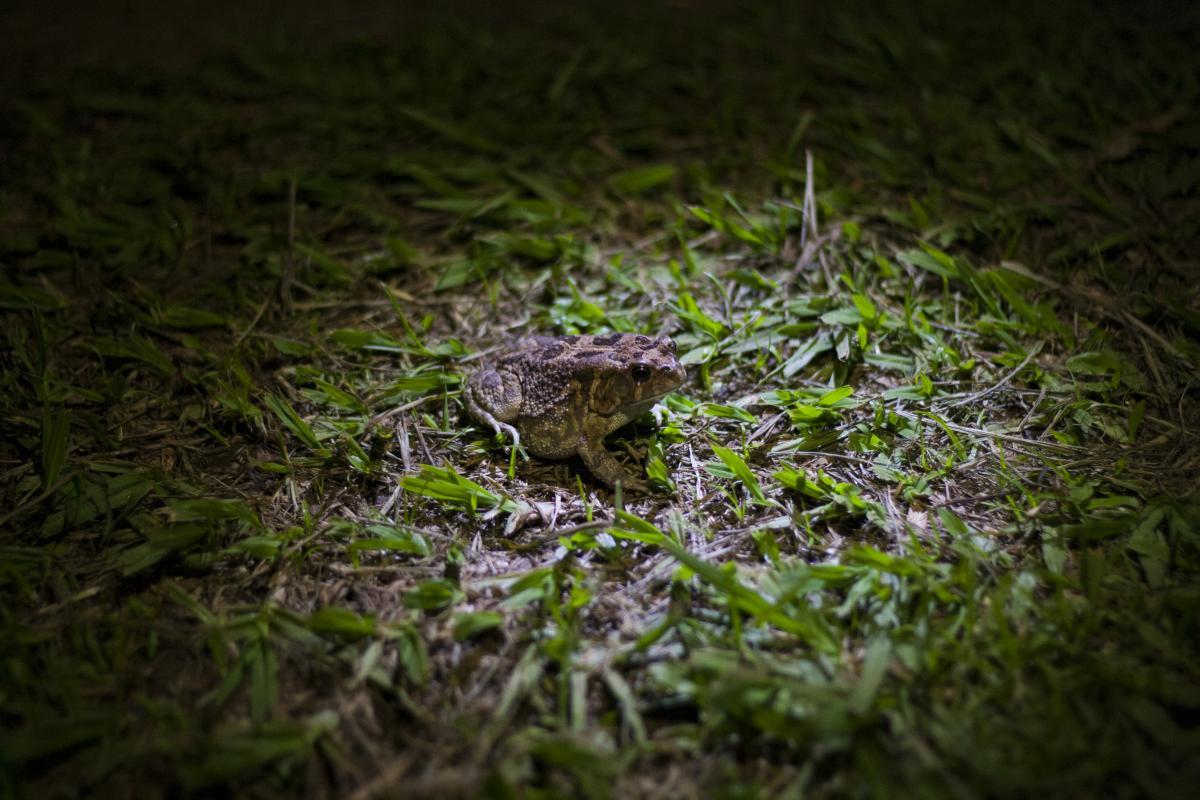 Frog American alligator Turtle