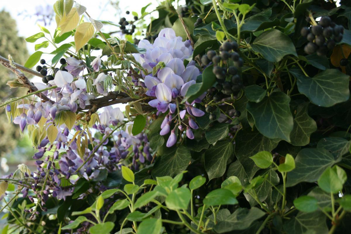 Herb Flower Lilac #117882
