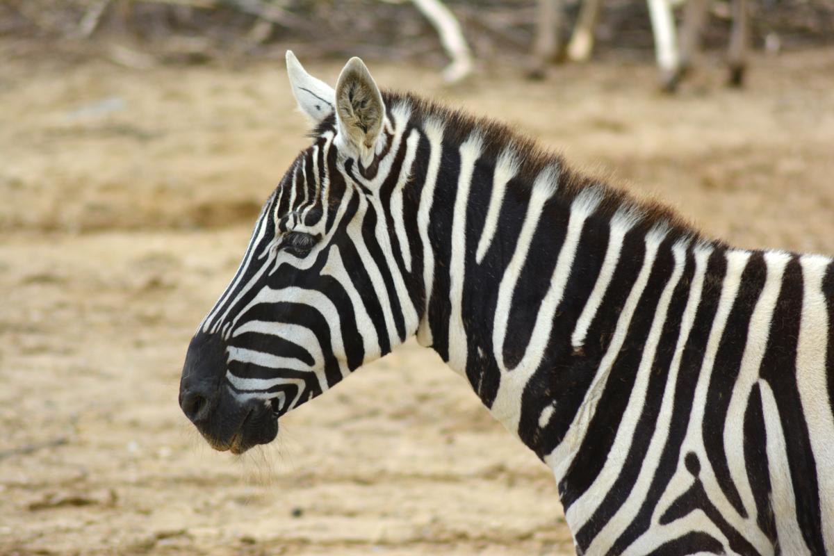 Zebra Equine Ungulate