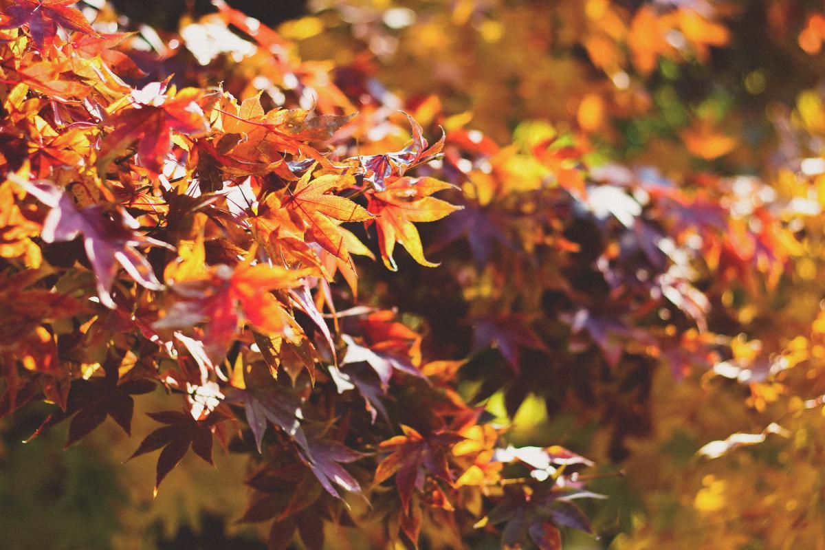 Maple Autumn Leaves #12138