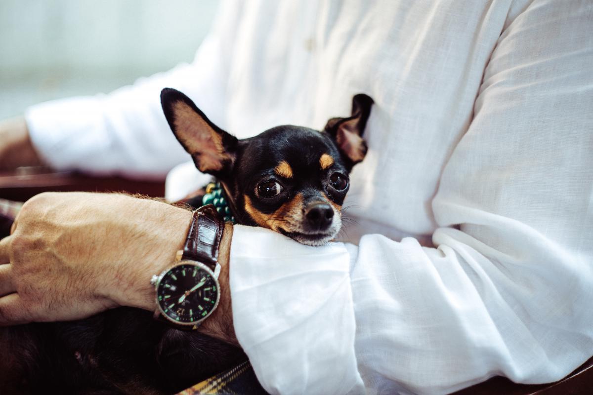 Dog Toy dog Chihuahua #12212