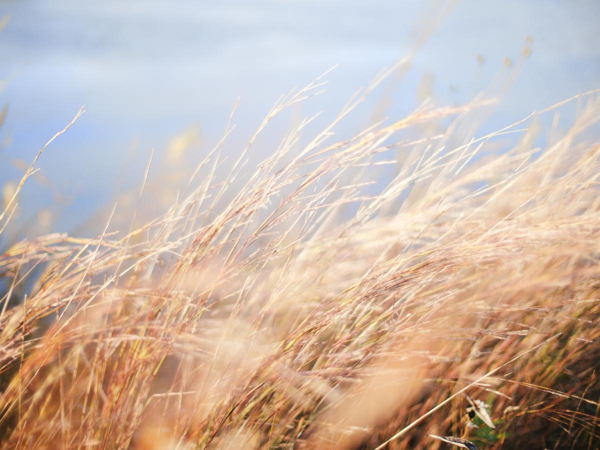 Field Wheat Grass #12285