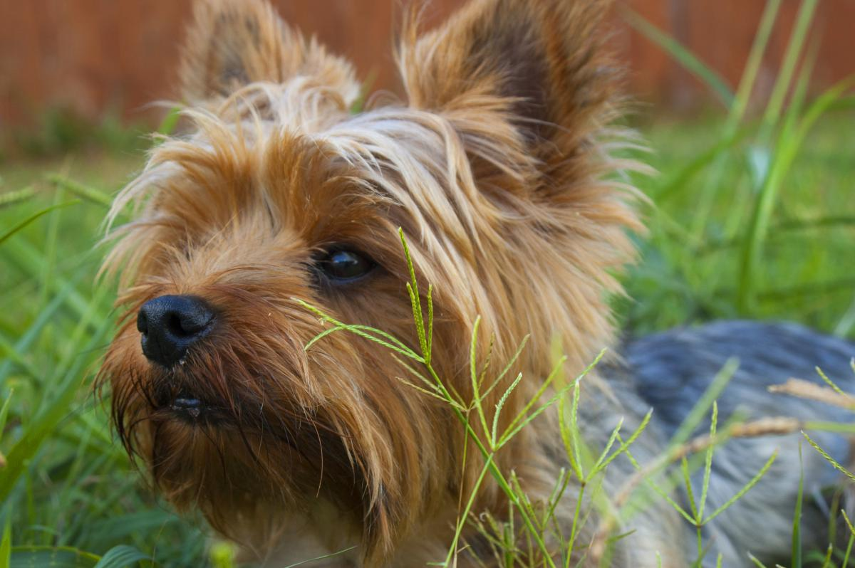 Hunting dog Terrier Dog #12756