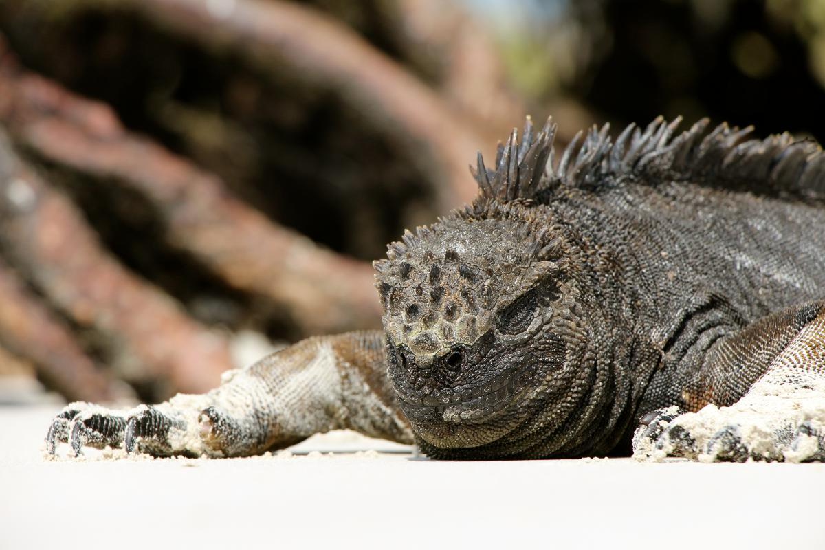 Common iguana Lizard Iguanid #12758