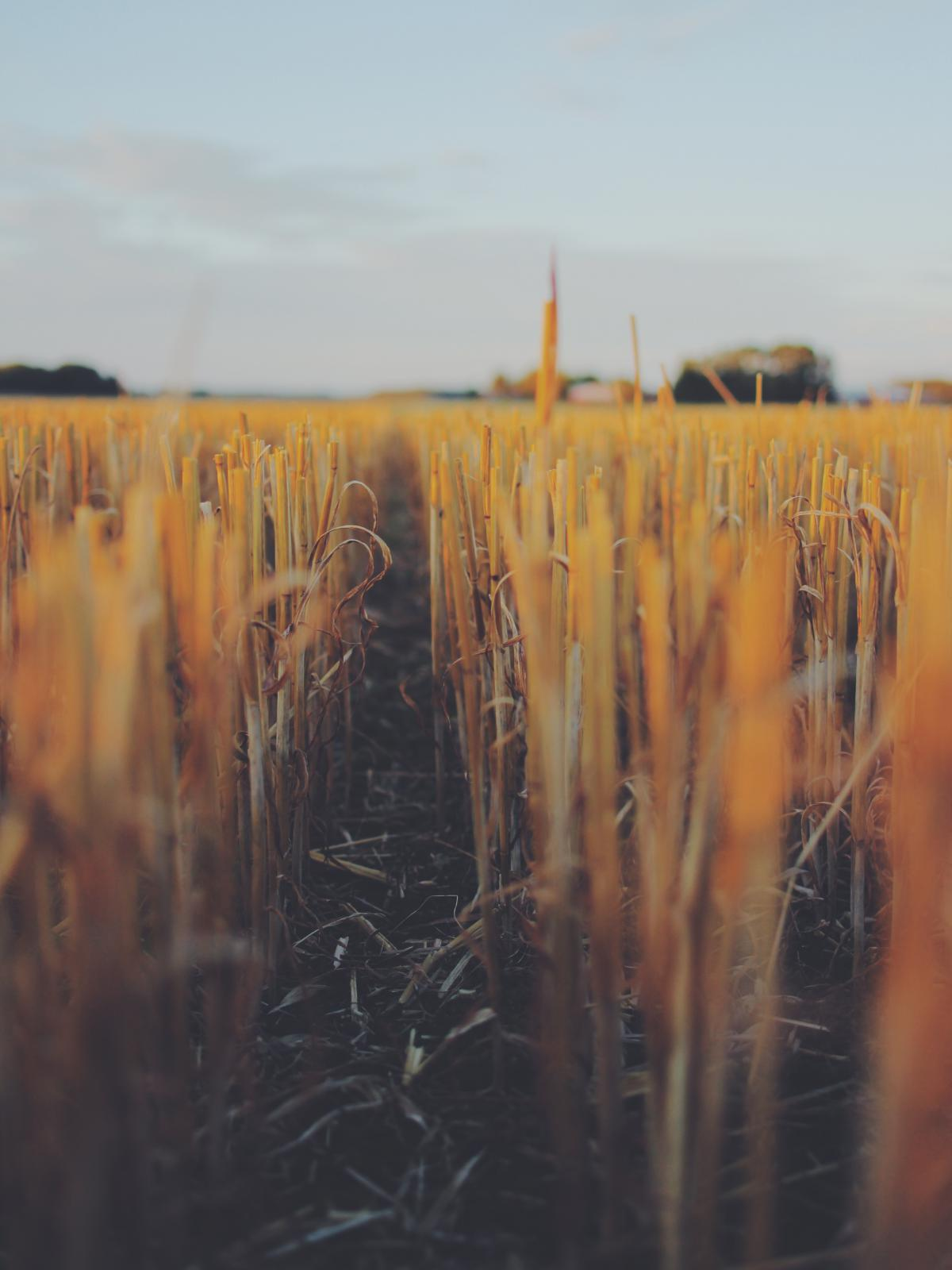 Wheat Field Cereal #12900