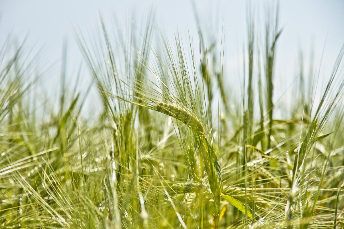 Wheat Cereal Grain #12910
