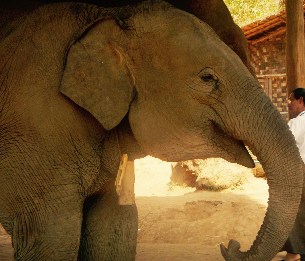Elephant Indian elephant Proboscidean