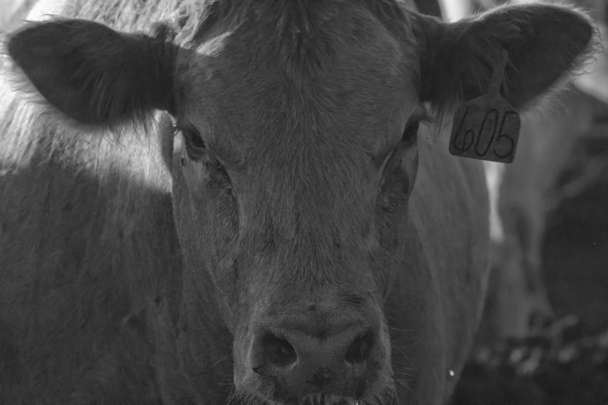 Cattle Cow Farm
