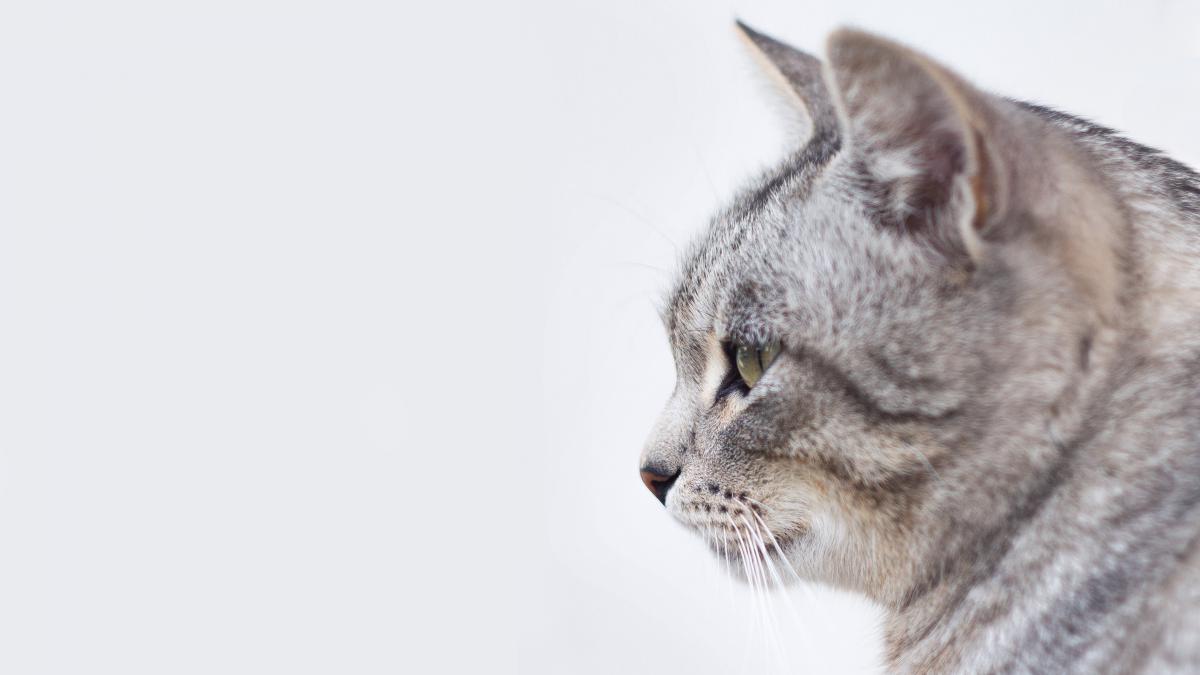 Cat Feline Lynx #12982