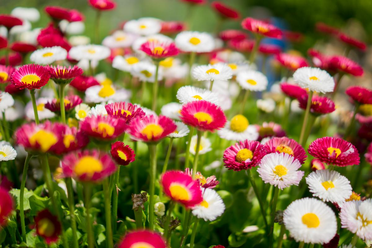 Tulip Flower Spring #13118