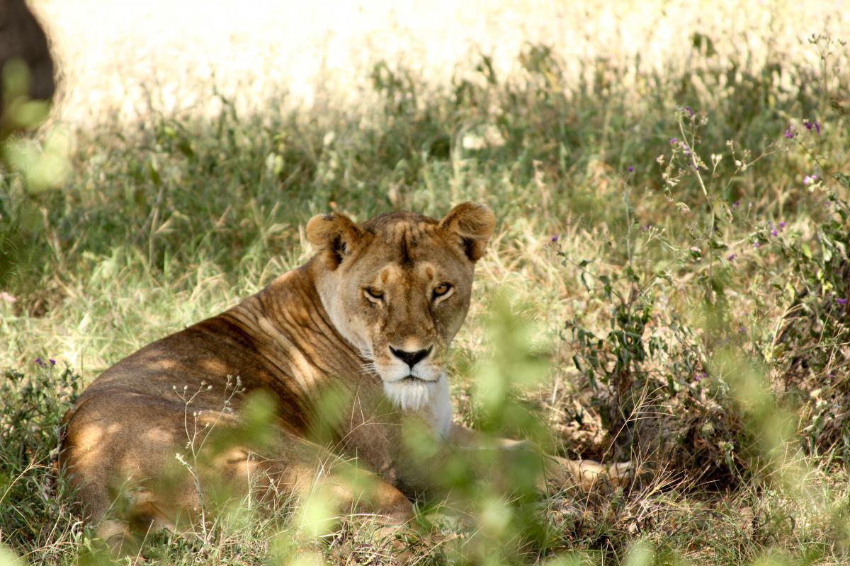 Lion Feline Big cat #131629