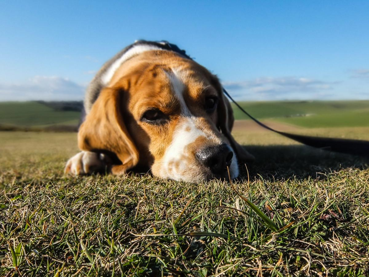 Hunting dog Basset Hound #13188