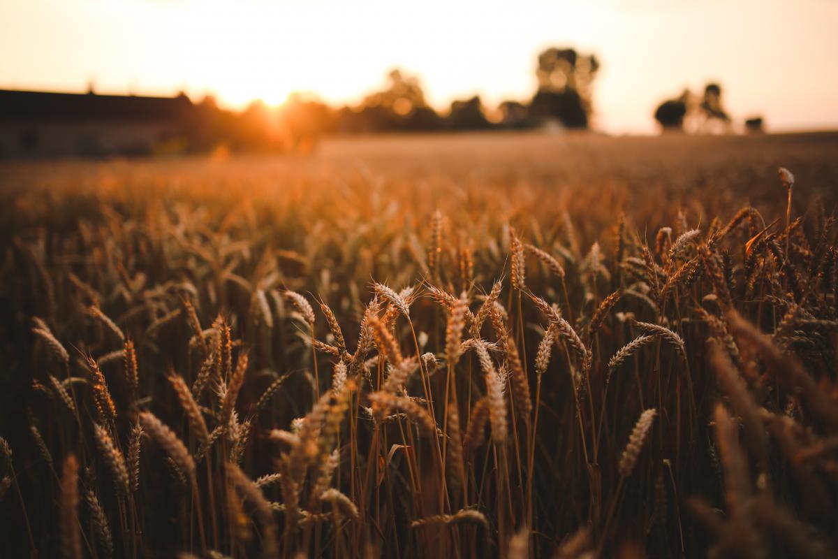 Wheat Field Grain #13239