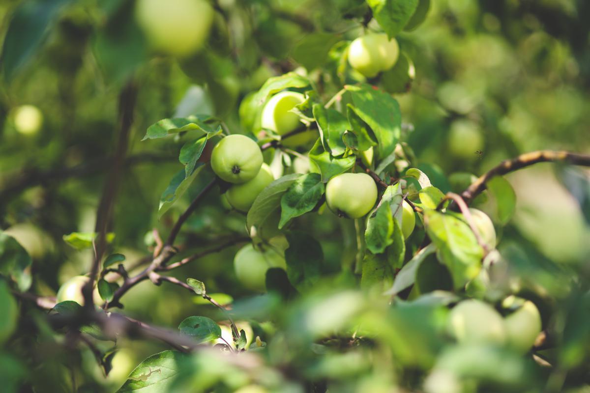 Fruit Acorn Grape #13326