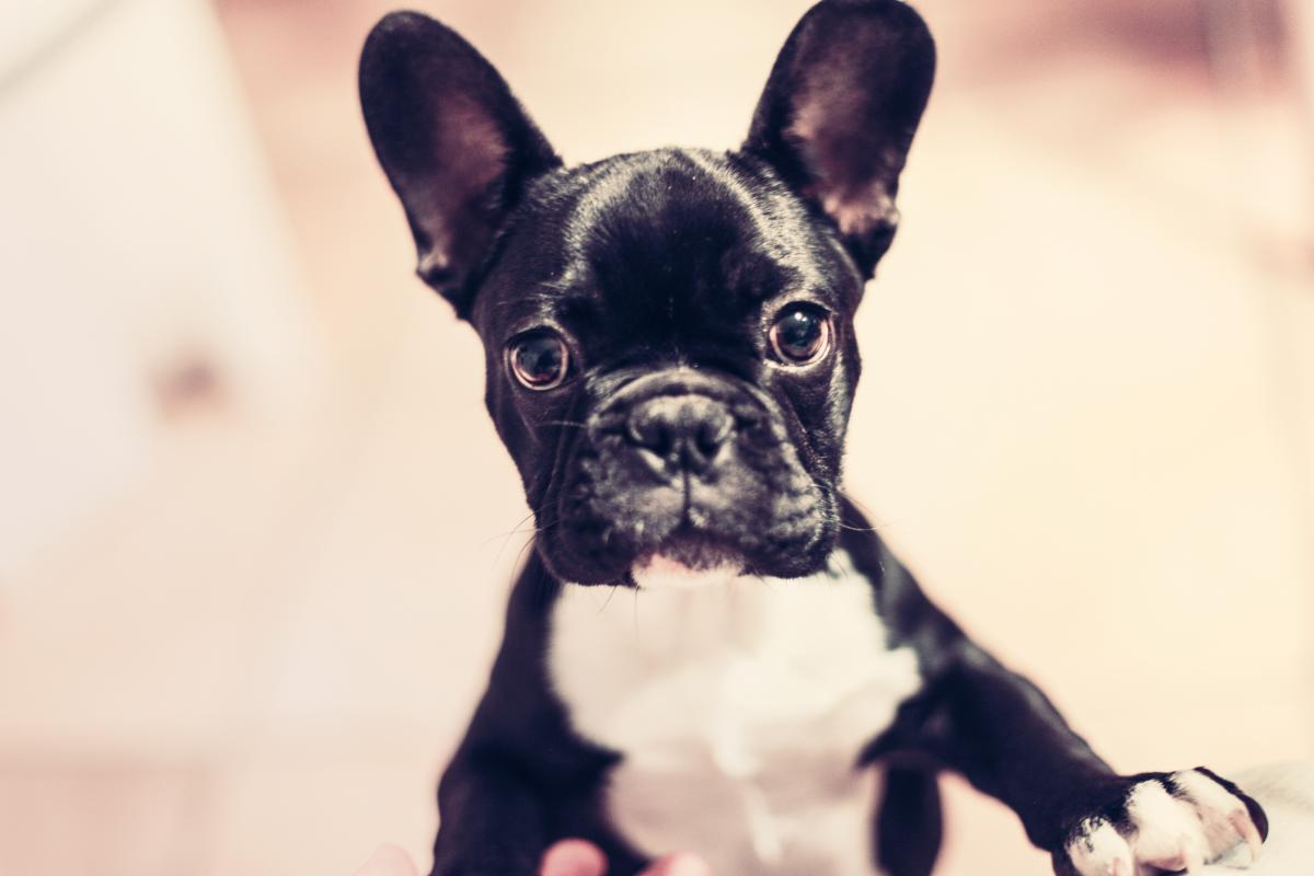 French bulldog Bulldog Dog #13335