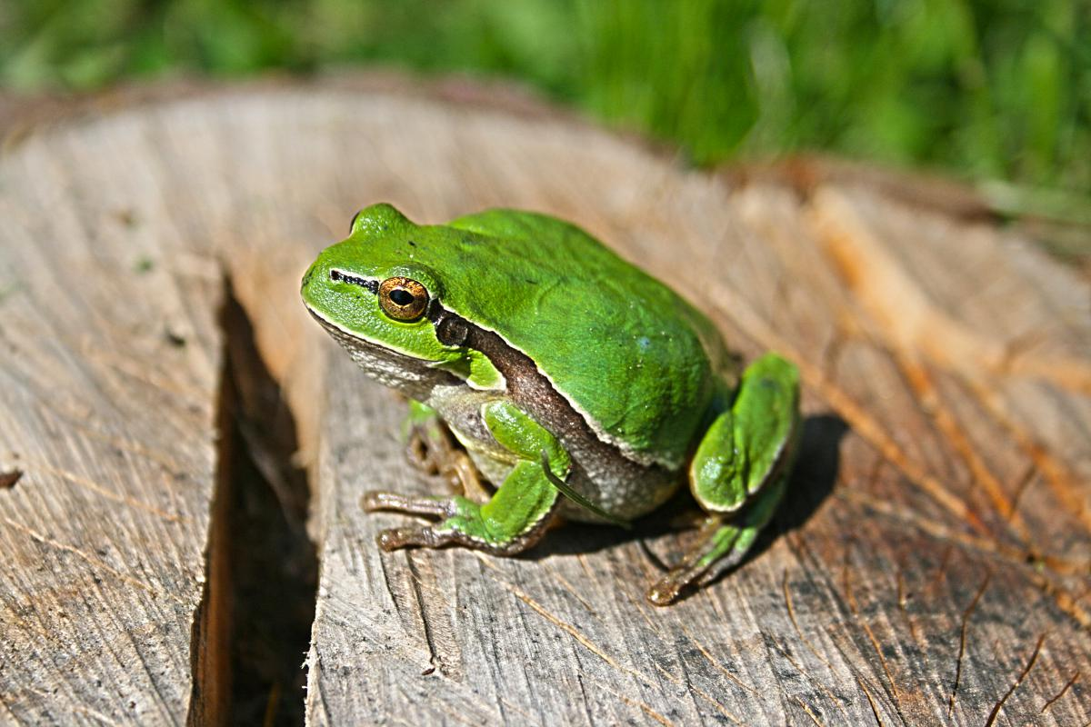 Tree frog Amphibian Frog #13591