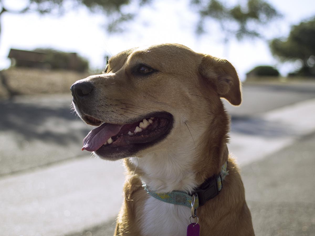 Retriever Dog Animal #13624