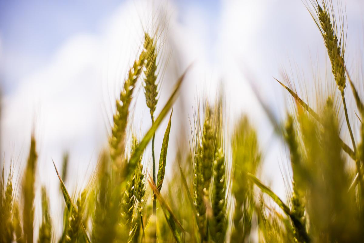 Cereal Wheat Field #13770