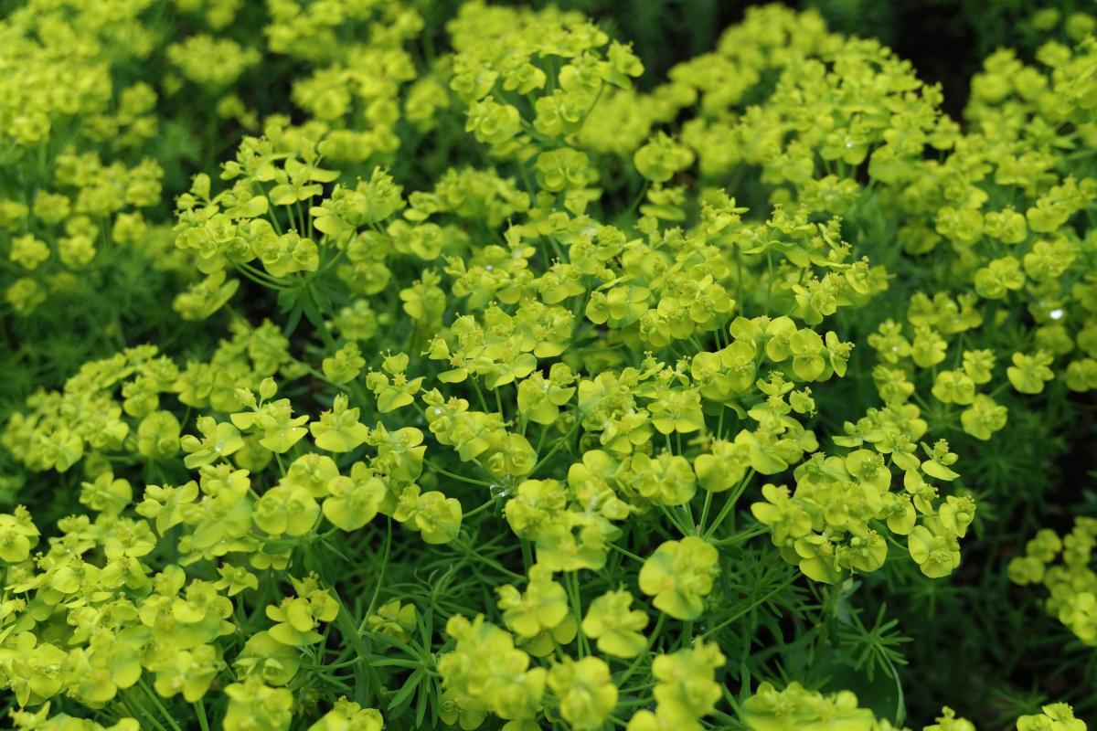 Herb Plant Vascular plant