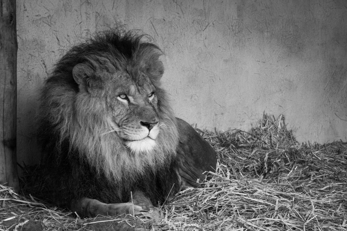 Lion Feline Big cat #13880