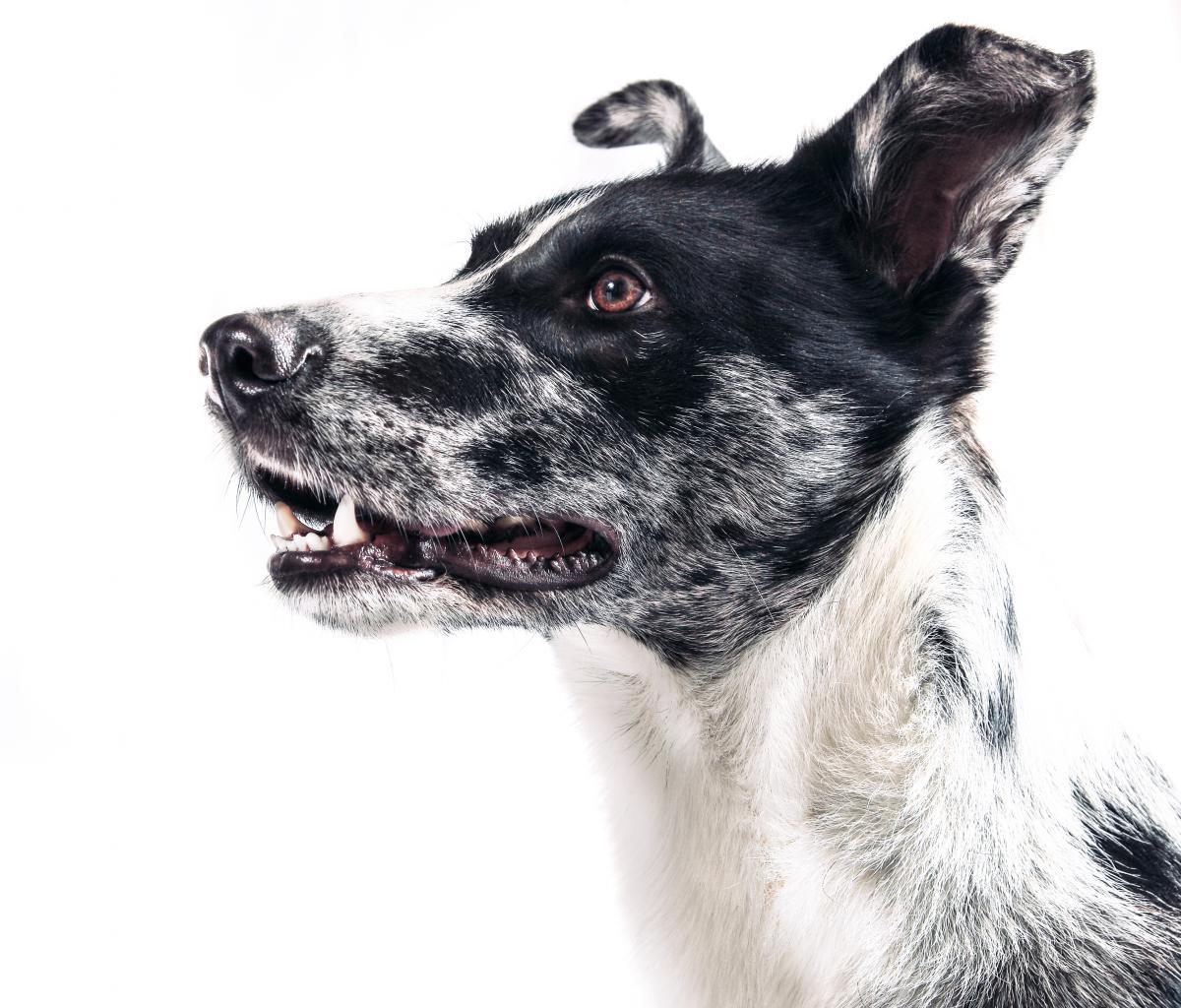 Terrier Dog Pet #14075