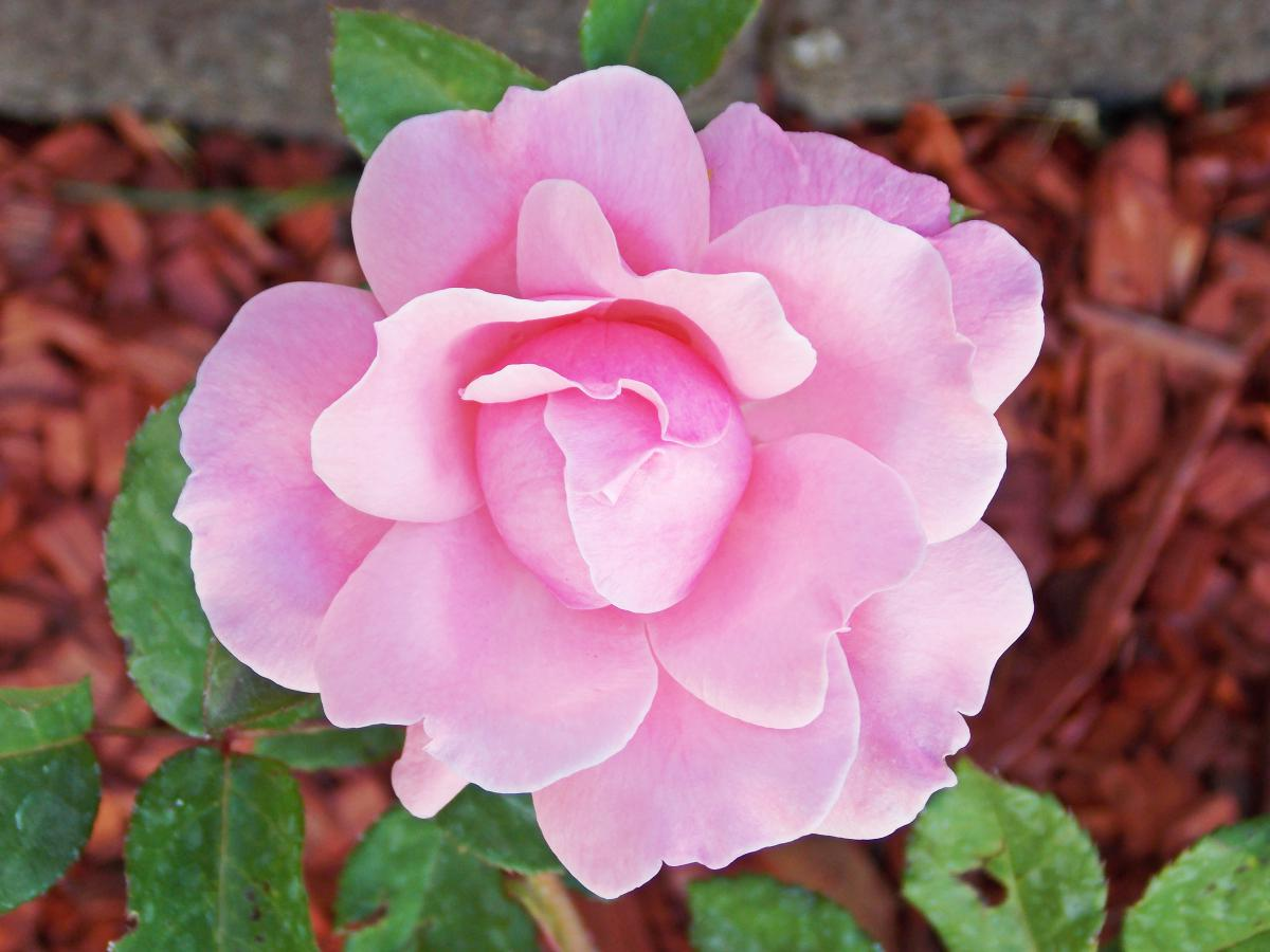Rose Pink Flower #14100
