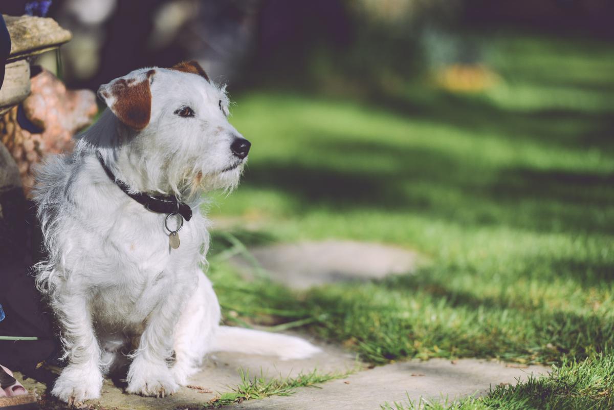 Dog Terrier Animal #14112
